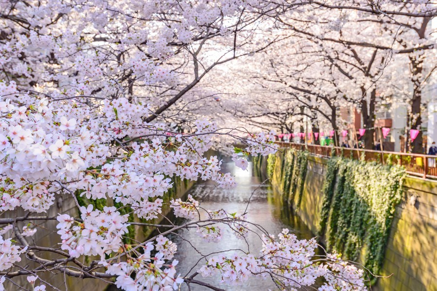 Photo of 2018日本赏樱指南|东京、京都赏樱必去景点、开花时间、路线规划,你都知道了吗?